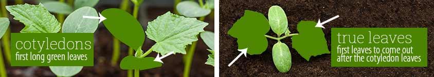cucurbit-leaves