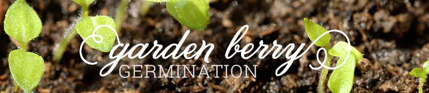ground cherry germination