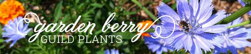 ground cherry guild-plants
