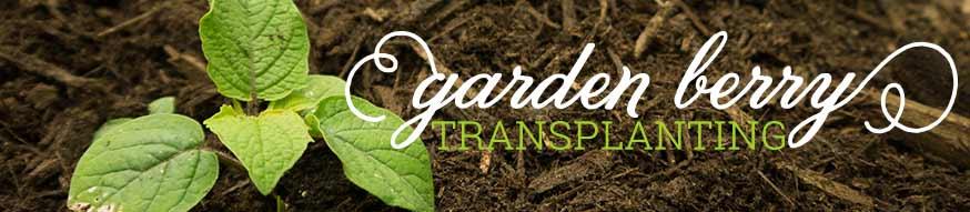 ground cherry transplanting