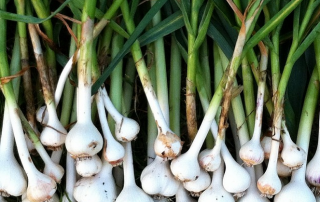 Rare heirloom hardneck garlic harvested in summer 2014.