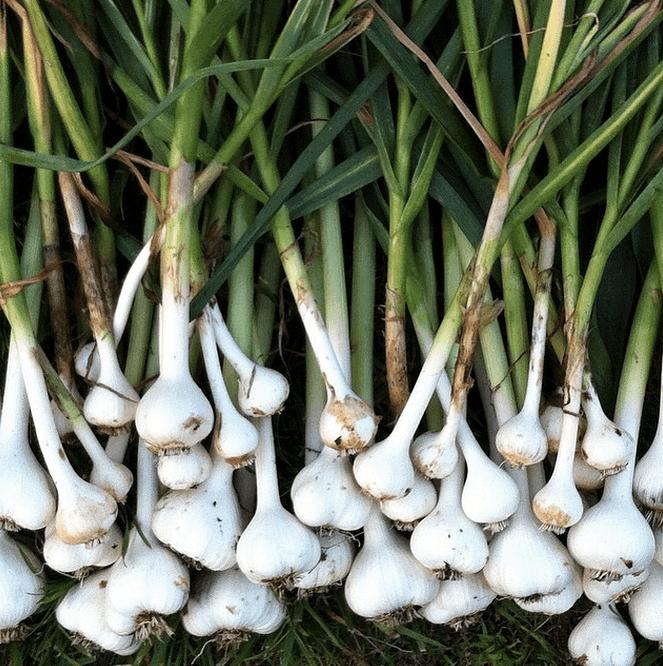 Rare heirloom hardneck garlic harvested in summer 2014.