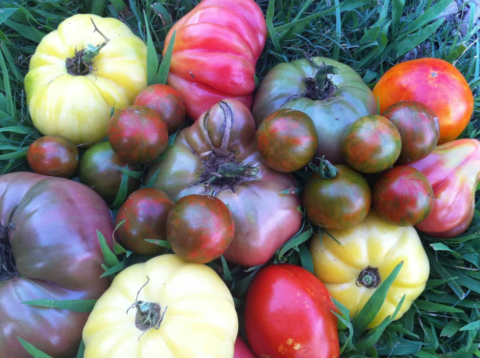 five tomato growing tricks you need to start using – growjourney