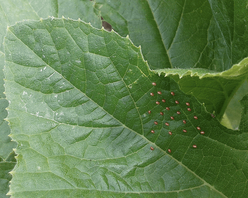 Squash vine borer eggs on the top side of a squash leaf. Image CC licensed courtesy of Raleigh City Farm.