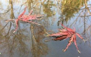 japanese maple leaves on pond