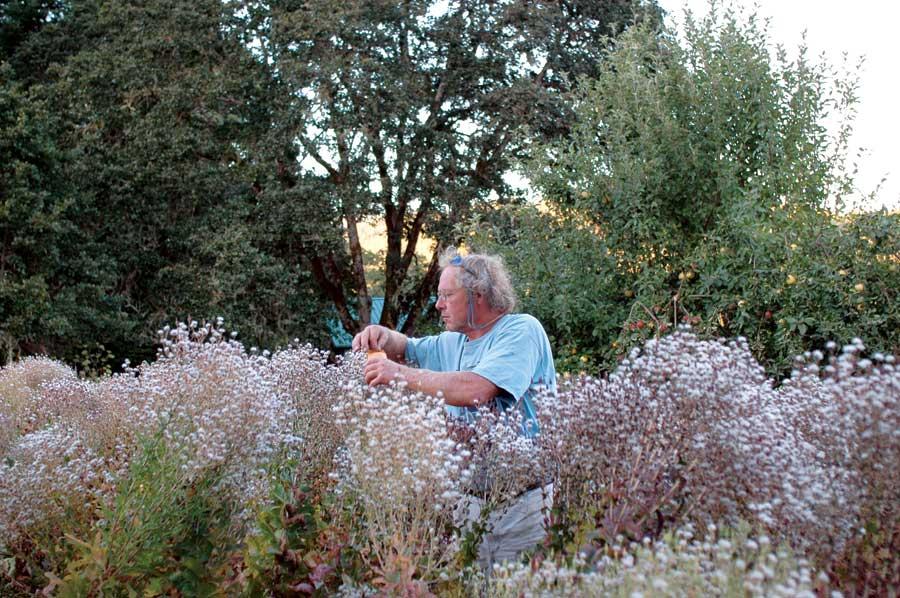 Frank Morton Lettuce Seeds