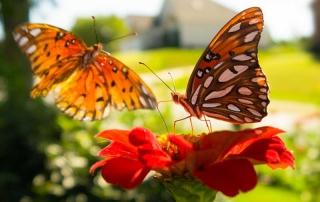 gulf fritillary butterflies on zinnia flower - www.growjourney.com