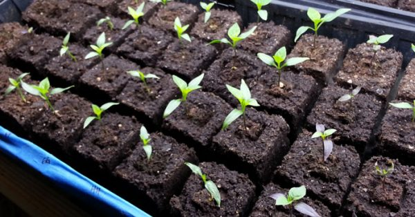 soil-blocks-blocking-up-featured peppers