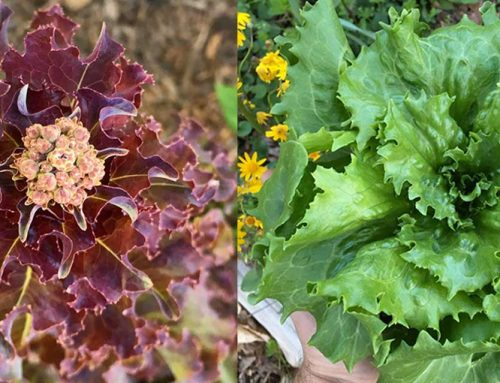 How to Grow Lettuce: Tips & Tricks For the Home Gardener