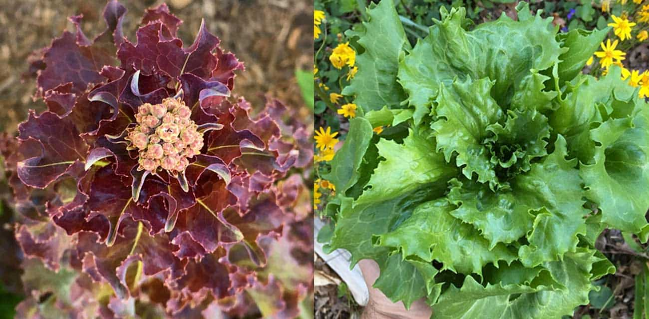 growjourney-lettuces-FI