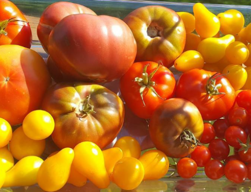 Top 5 reasons you keep killing your potted tomato plants