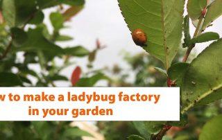 ladybugs / ladybug