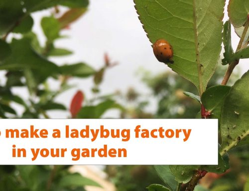 Video: Creating a ladybug factory in your garden