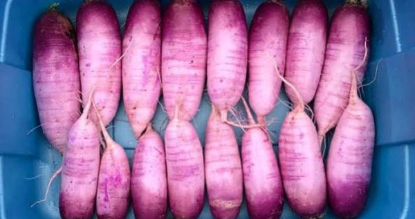 Radishes - featured   Easiest Garden Plants to Grow in the Fall and Winter by GrowJourney.com