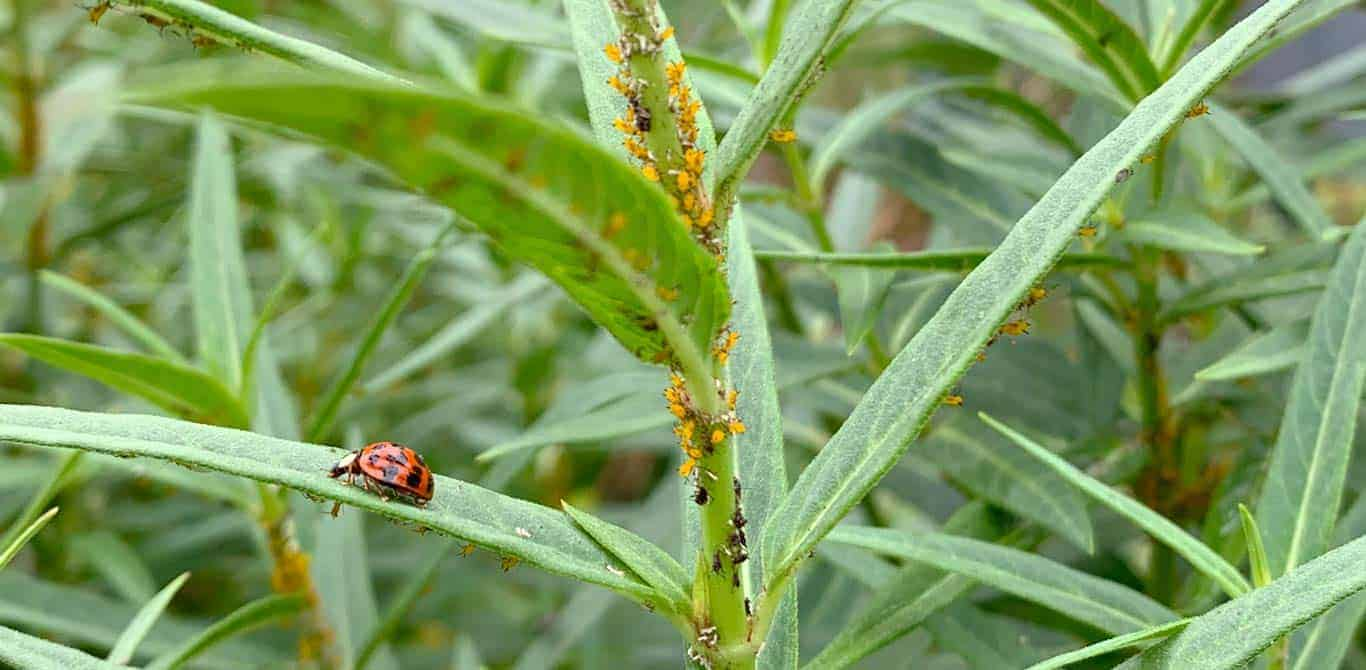 How to control aphids in your garden organically