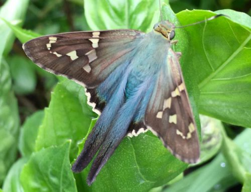 Long-tailed skippers: bean pest or helpful butterfly?