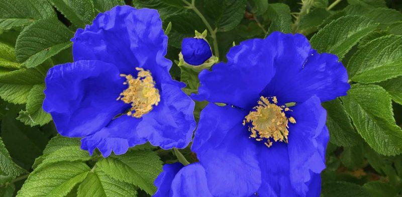Fake blue roses