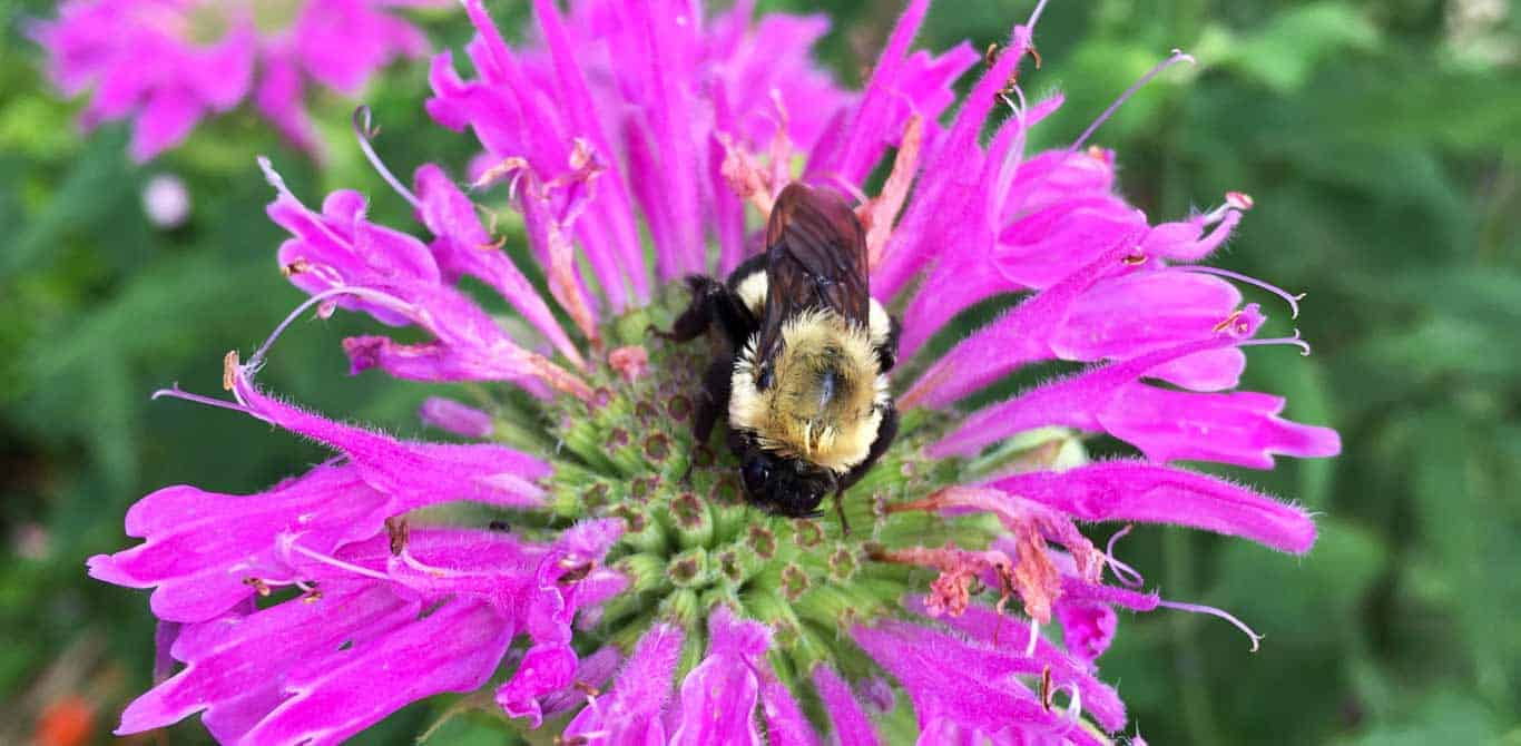 Top 18 garden herbs to attract pollinators