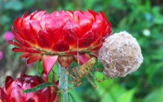 garden spiders - green lynx spider with egg sac